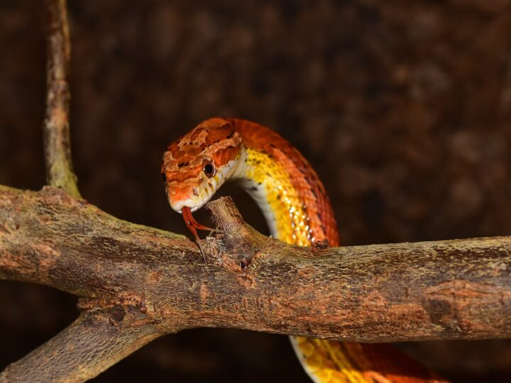 Red snake is looking for dinner