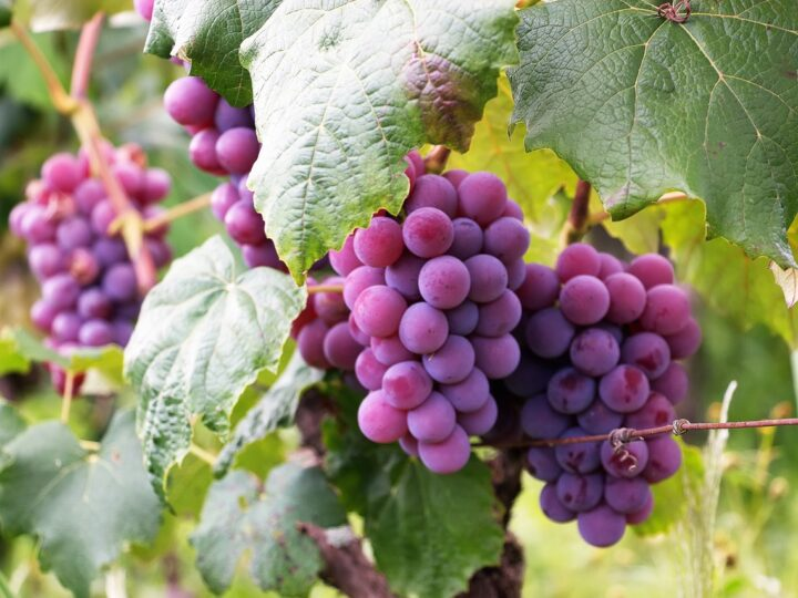 Purple grapes are growing well